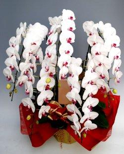画像1: 大輪胡蝶蘭 ロイヤル(高貴) 5本